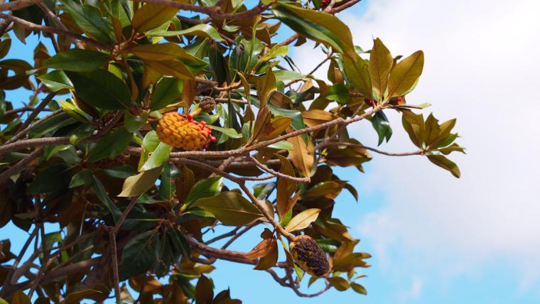 Ibiza tree